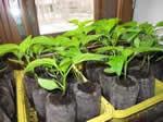 Бизнес по выращиванию рассады и семян в домаших укритериих